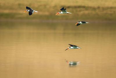 Chambal River Sanctuary, Uttar Pradesh, India, 2014
