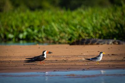Black Skimmer & Large-billed Tern