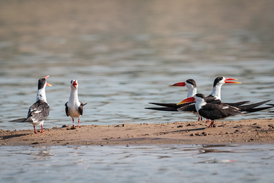 Indian Skimmers with something to say