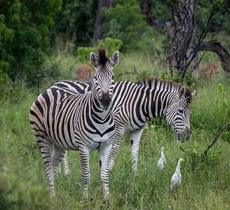 Zebra and Egret