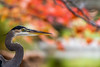 Great Blue Heron with Fall Color