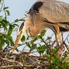 Great Blue Heron, Wakodahatchee, Boynton Beach, FL, 2016