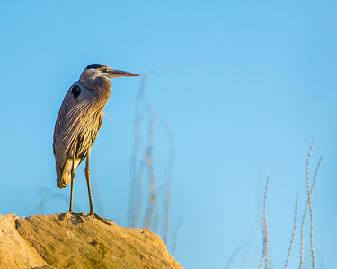 Great Blue Heron, Rio Grande Village, Big Bend, Texas, 2013