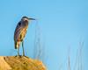 Great Blue Heron, Rio Grande Village, Big Bend, Texas, 2013