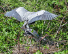 Great Blue Heron, Wakodahatchee, FL, 2010