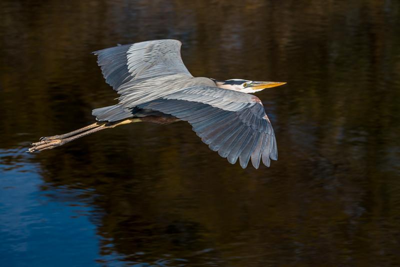 Great Blue Heron Cruising