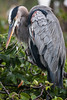 Great Blue Heron, Wakodahatchee, FL., 2007