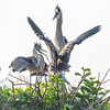 Great Blue Heron Chicks Begging for Food