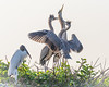 Great Blue Heron Chicks Begging for Food