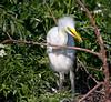 Great Egret, Gatorland, FL, 2010