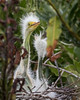 Young Great Egret Chicks