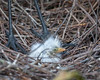 Great Egret (f) with 1-day old chicks