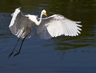 Great Egret, Gatorland, FL, 2010