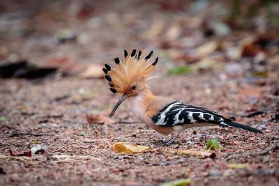 Madagascar Hoopoe