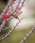 Berylline Hummingbird with Ocotillo