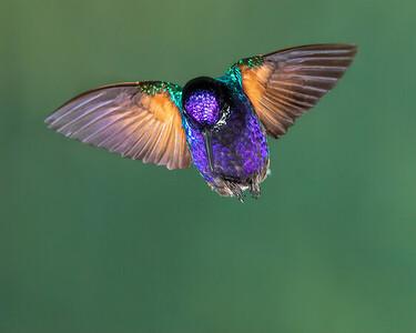 Velvet-breasted Coronet