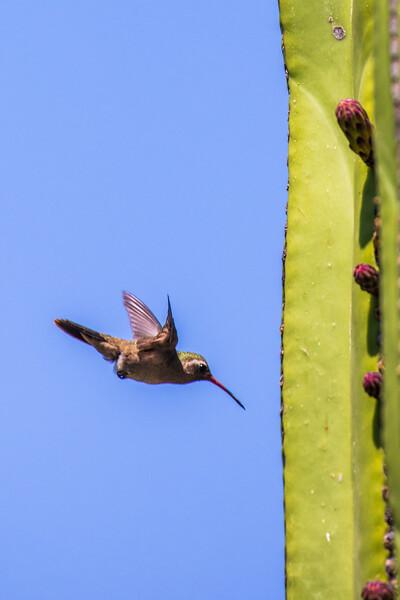 Dusky Hummingbird