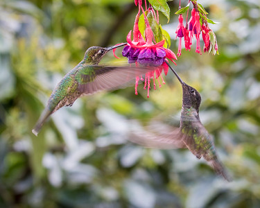 Magnificent Hummingbird (m)