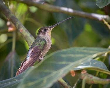 Savegre, San Gerardo de Dota, Costa Rica, 2017