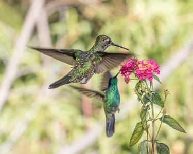 Magnificent Hummingbird (m) & Lesser Violetear