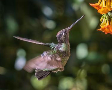Magnificent Hummingbird (f)