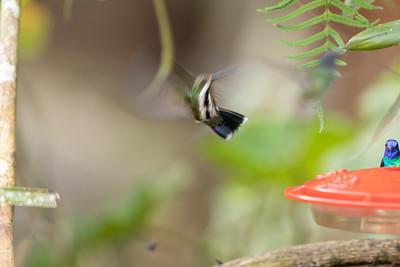 Black-throated Mango (f)
