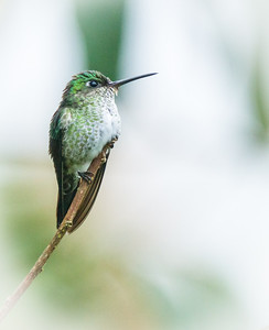 Many Spotted Hummingbird