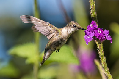 Ruby-throated Hummingbird (f)