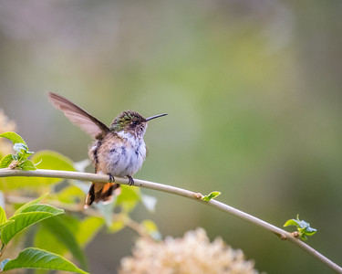Volcano Hummingbird (f)
