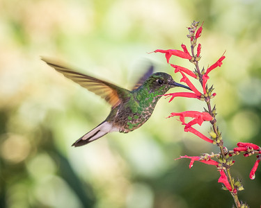 Stripe-tailed Hummingbird (m)
