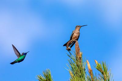 Giant Hummingbird and Sparkling Violetear