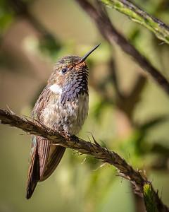 Volcano Hummingbird (m)