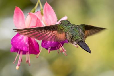 Stripe-tailed Hummingbird (m)