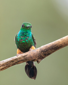 Peruvian Racket-tail