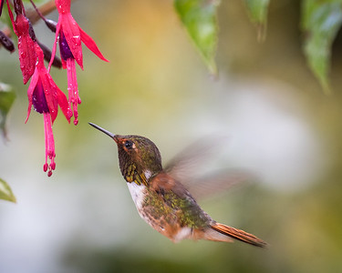 Scintillant Hummingbird (m)