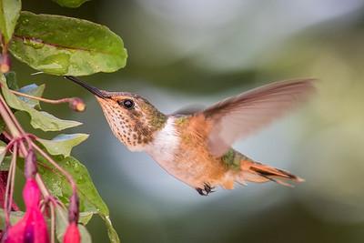 Scintillant Hummingbird (f)