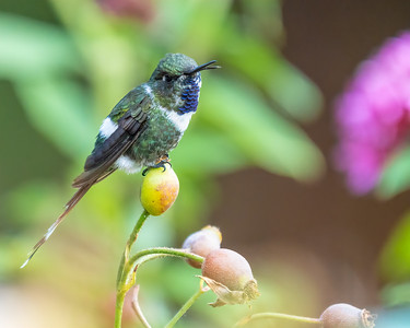Sparkling-tailed Hummingbird (male)