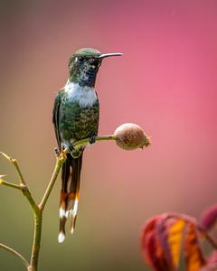 Sparkling-tailed Hummingbird (m)