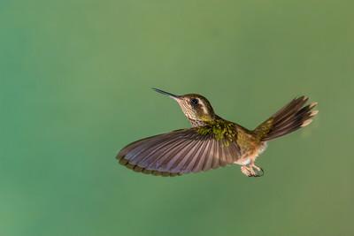 Speckled Hummmingbird