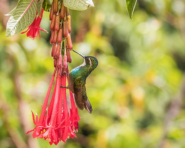 White-throated Mountain-gem (m)