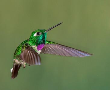 Purple-bibbed Whitetip