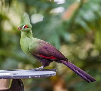Green-crested Turaco