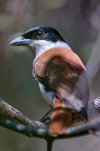 Rufous Vanga
