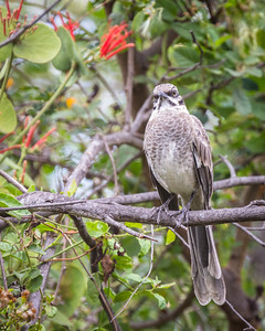 Long-tailed Mockingbird
