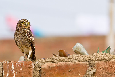 Burrowing Owl on Security Wall