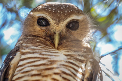 White-browed Owl