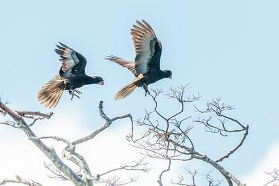 Greater Vasa Parrot