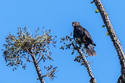 Lesser Vasa Parrot