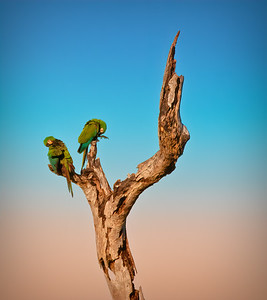 Chestnut-fronted Macaws