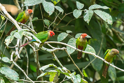 Rose-fronted Parakeets